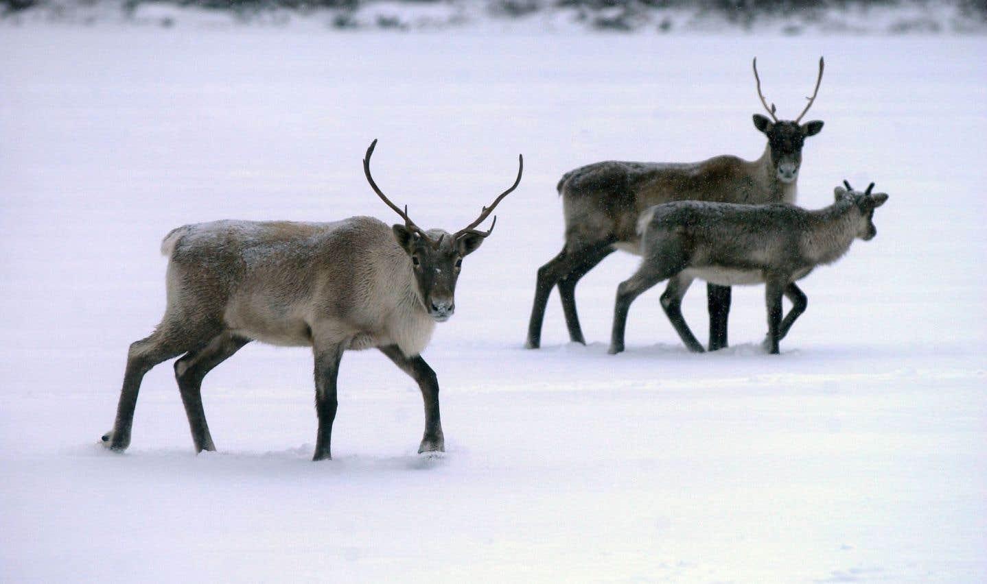 Les caribous de Val-d'Or envoyés au Zoo de Saint-Félicien