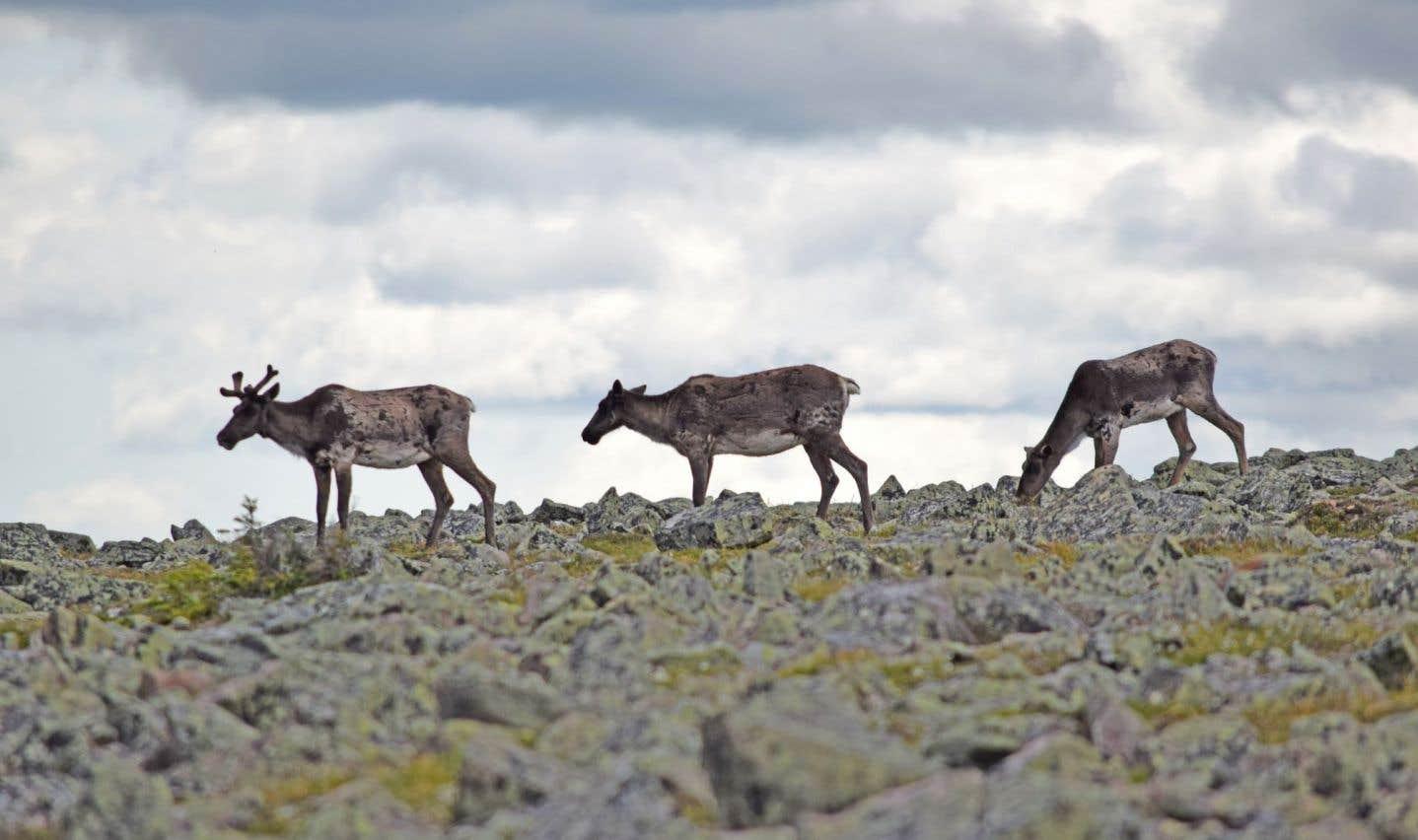 Le transfert de caribous dans un zoo suscite des inquiétudes