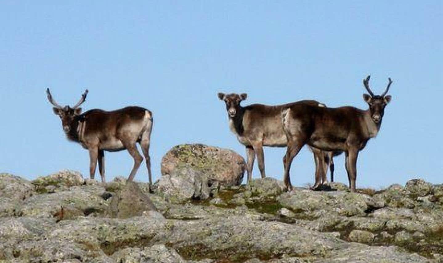 Le caribou migrateur du Québec est «en voie de disparition»