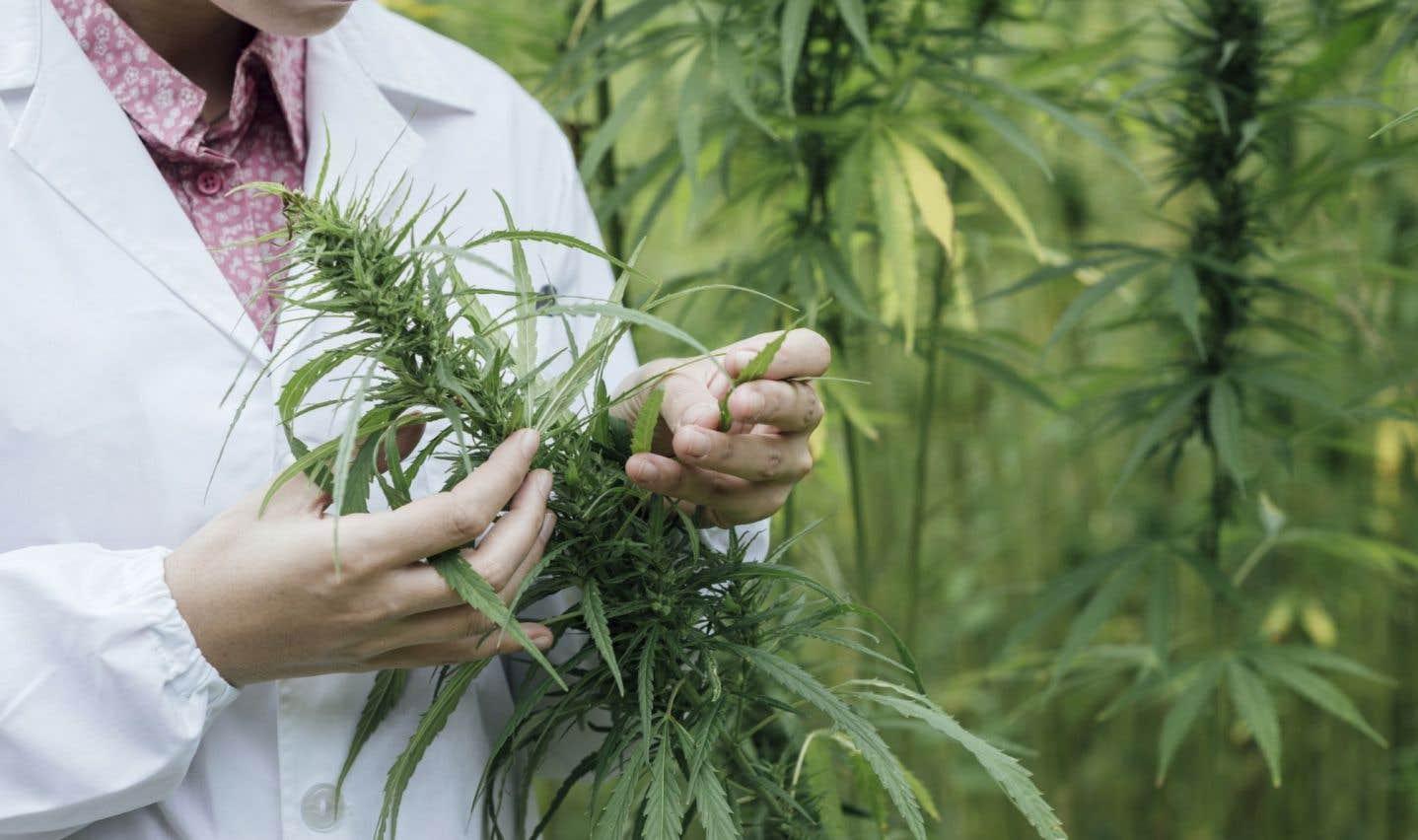Québec consultera les experts et la population sur le cannabis