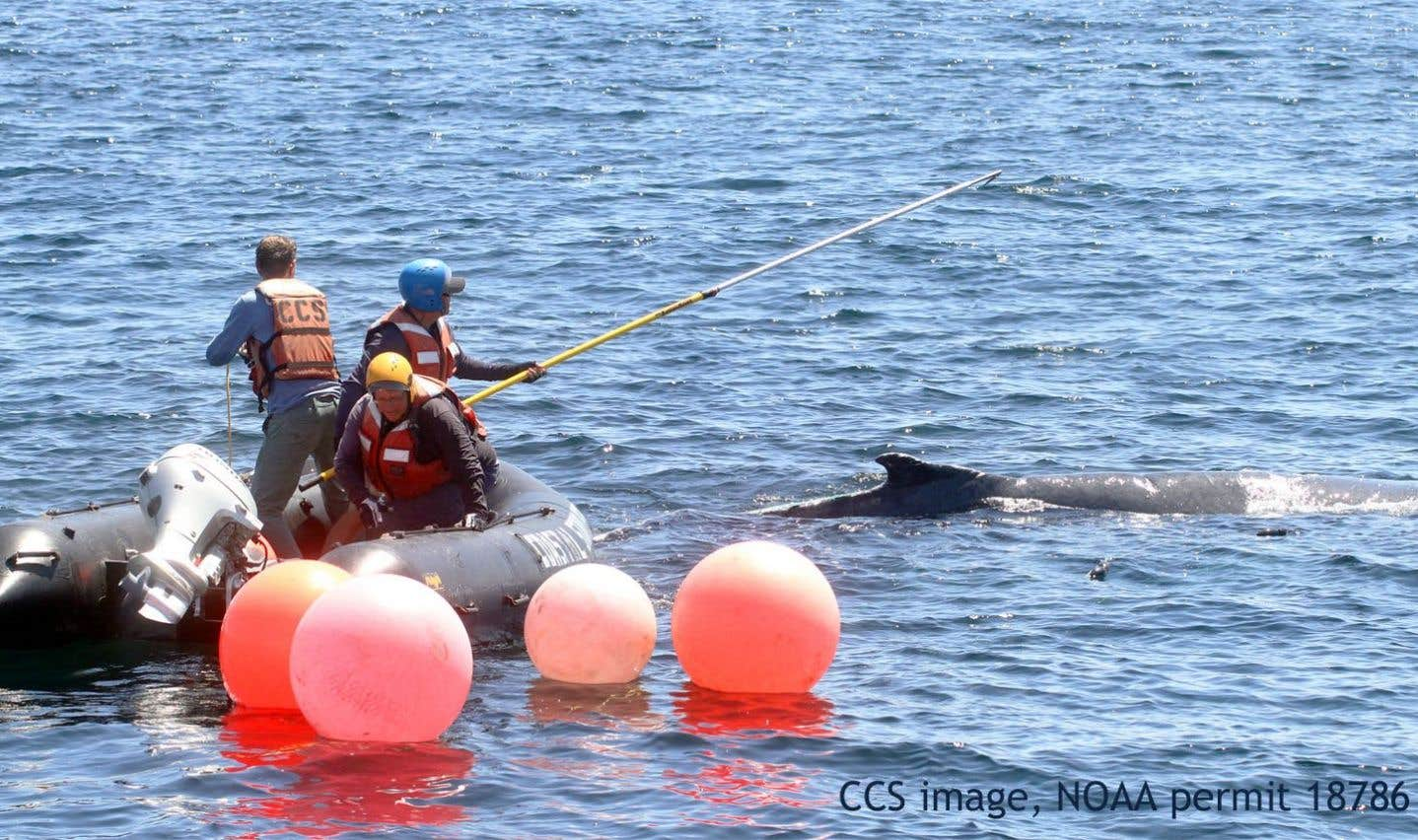 Un sauveteur de cétacés tué par une baleine