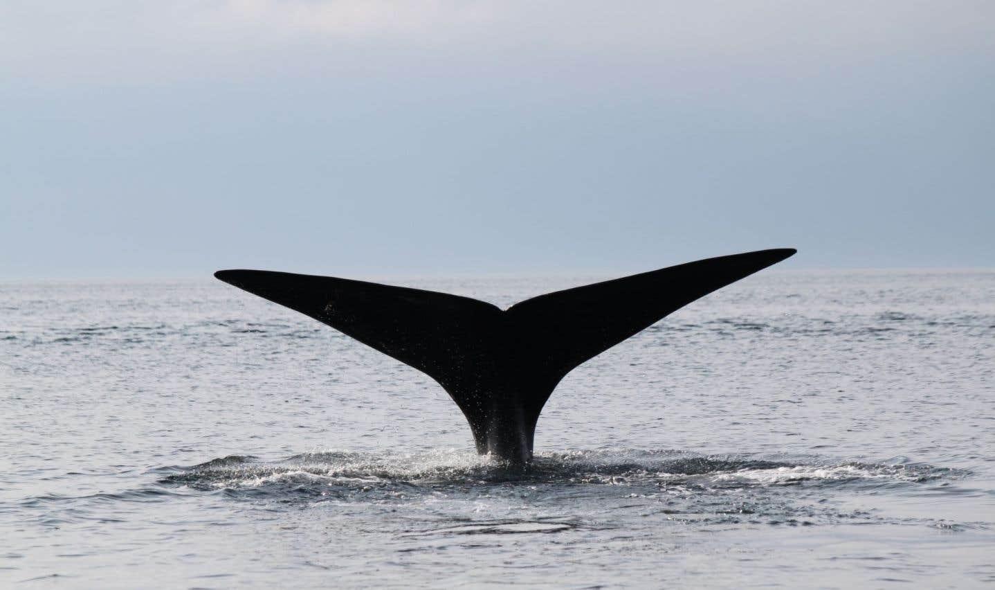 Ottawa impose des mesures de protection des baleines noires