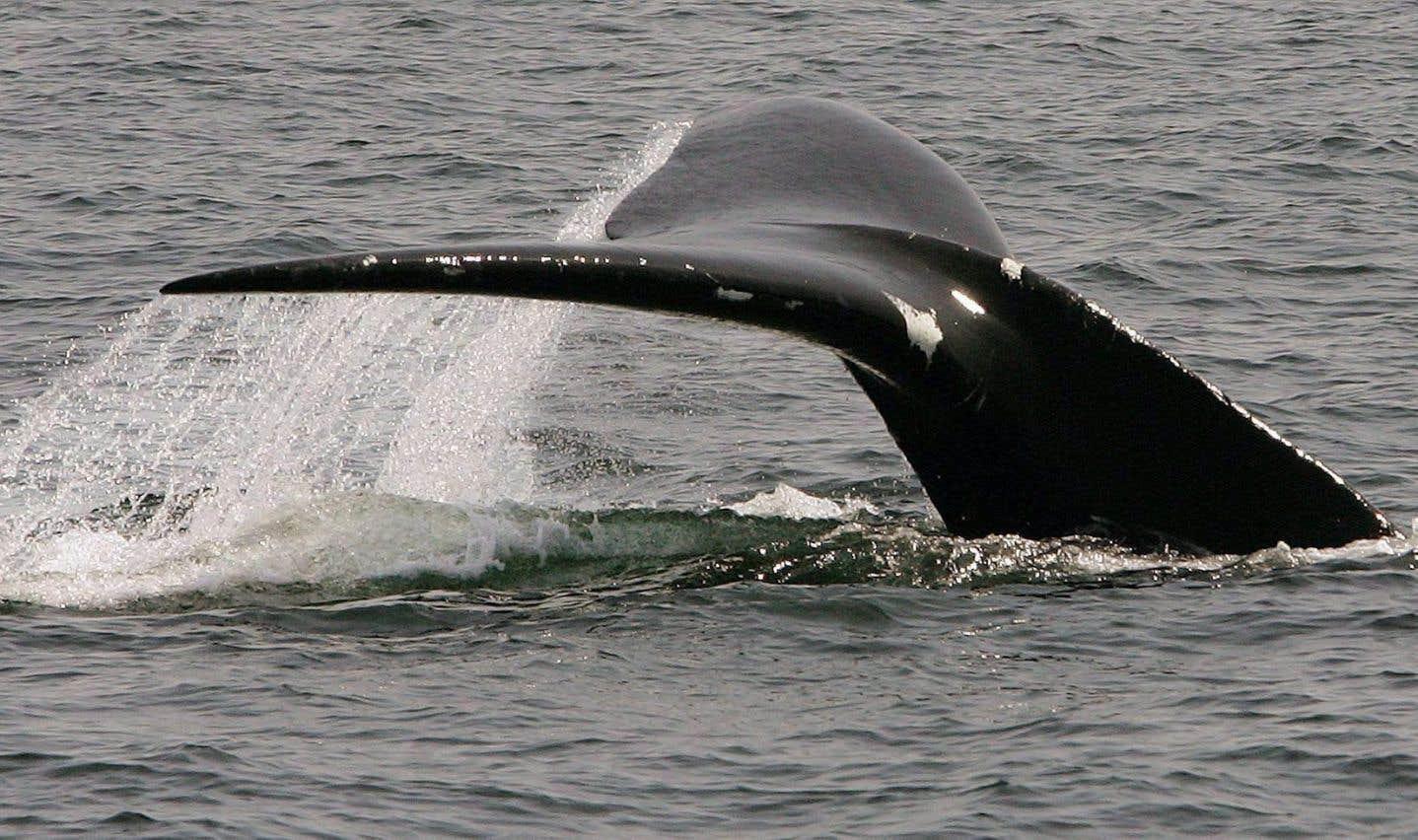 Deux autres carcasses de baleine noire sont retrouvées à Terre-Neuve