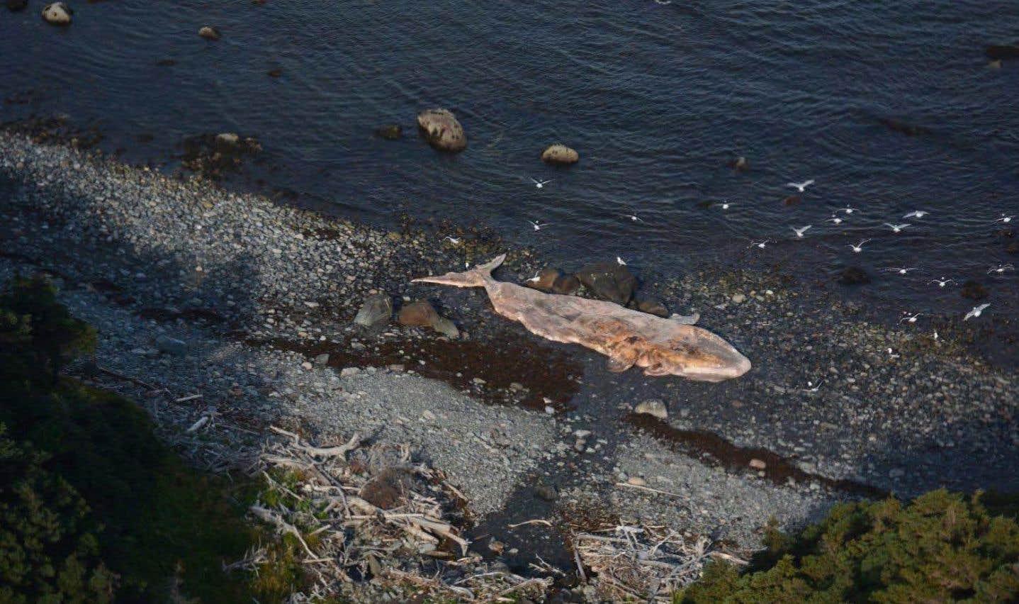 Une «catastrophe» menace la population de baleines noires, selon des experts