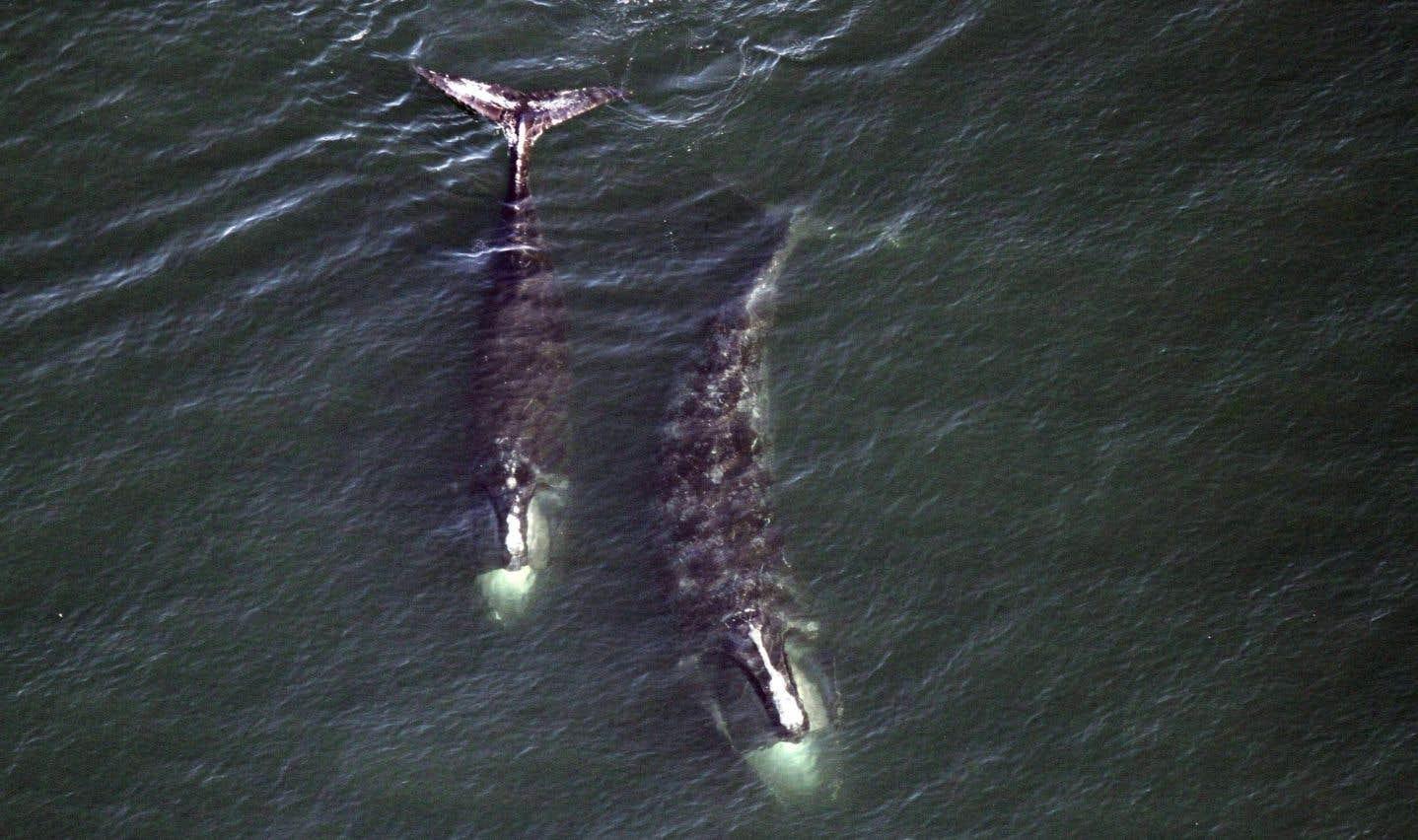 Protection des baleines: vitesse réduite dans le Pacifique, mais pas dans le golfe
