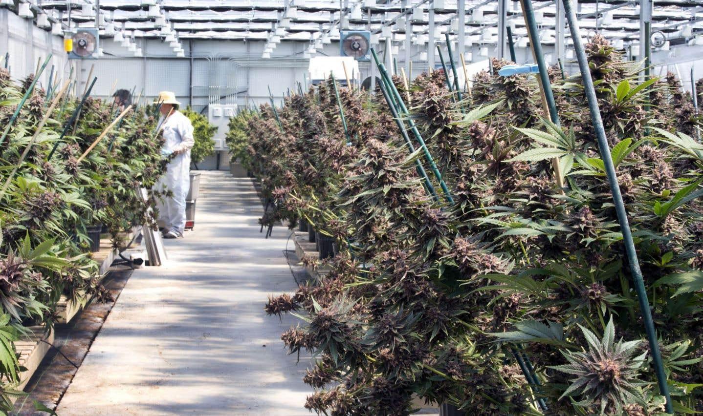 Le Québec, terre promise des producteurs de cannabis
