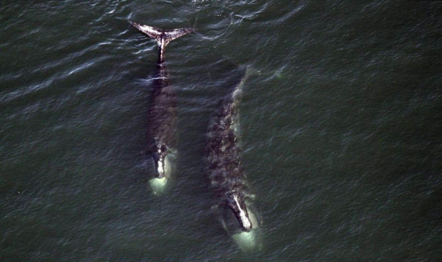 L'Agence américaine d'observation océanique et atmosphérique estime que les baleines noires de l'Atlantique Nord connaissent actuellement un taux de reproduction faible et des changements dans la disponibilité de la nourriture.