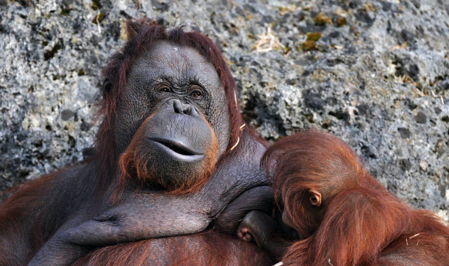 Découverte d'une nouvelle espèce rare d'orang-outan en Indonésie