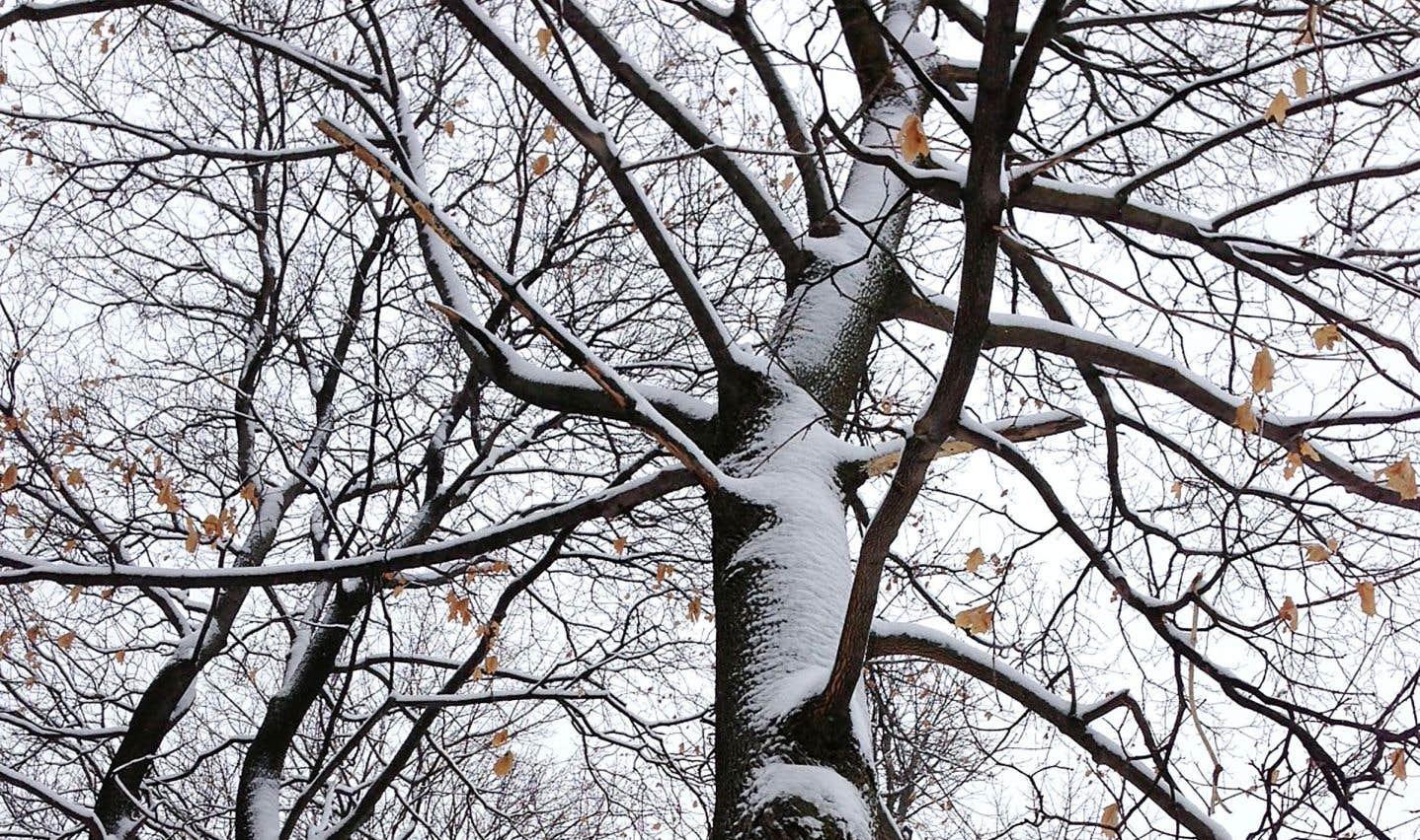 La vie des arbres en milieu urbain est réduite, notamment en raison des tailles sévères qu'ils subissent pour protéger le réseau d'Hydro-Québec.