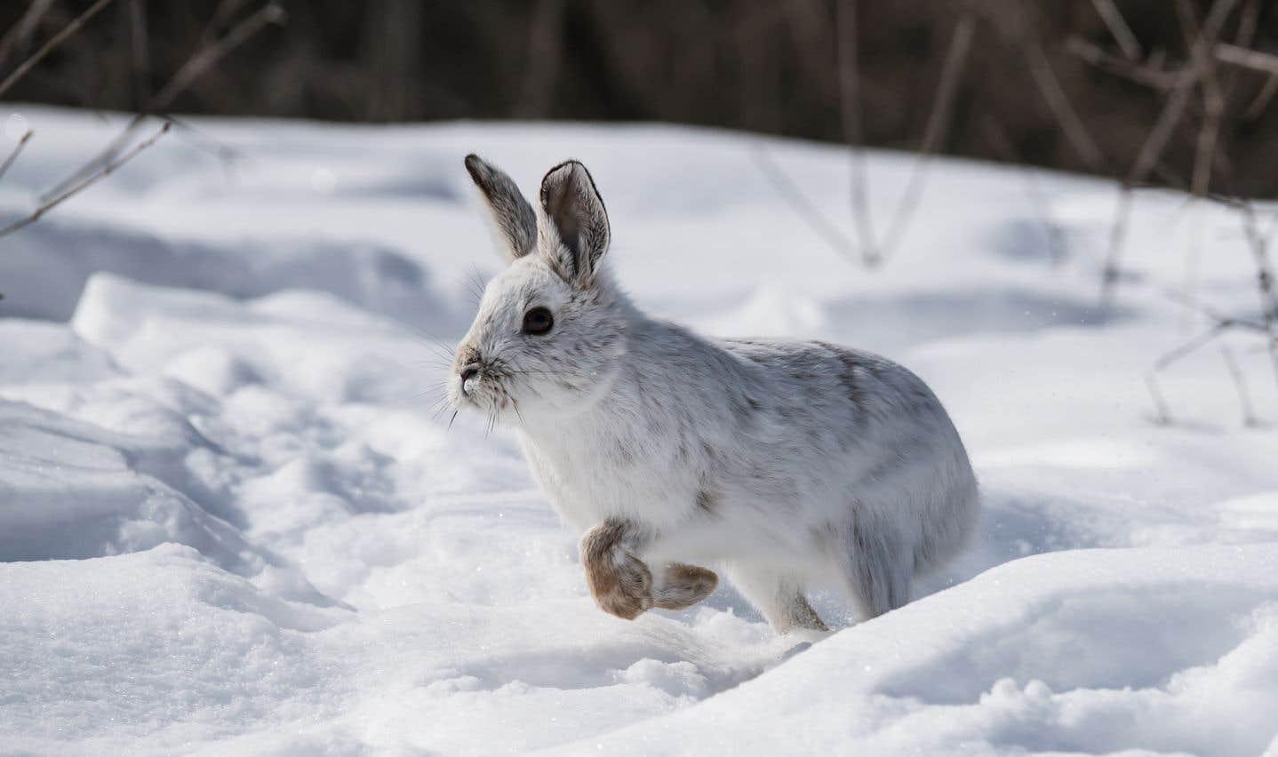 «La survie de [plusieurs] espèces dépend directement de l'efficacité de leur camouflage», assure le biologiste américain L. Scott Mills, de l'Université du Montana.