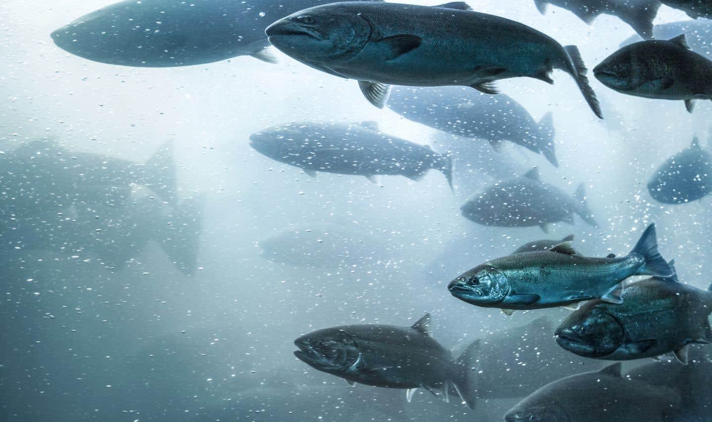 Le projet nécessiterait l'importation d'œufs de saumon de l'Islande, où des cas d'anémie infectieuse ont déjà été détectés.