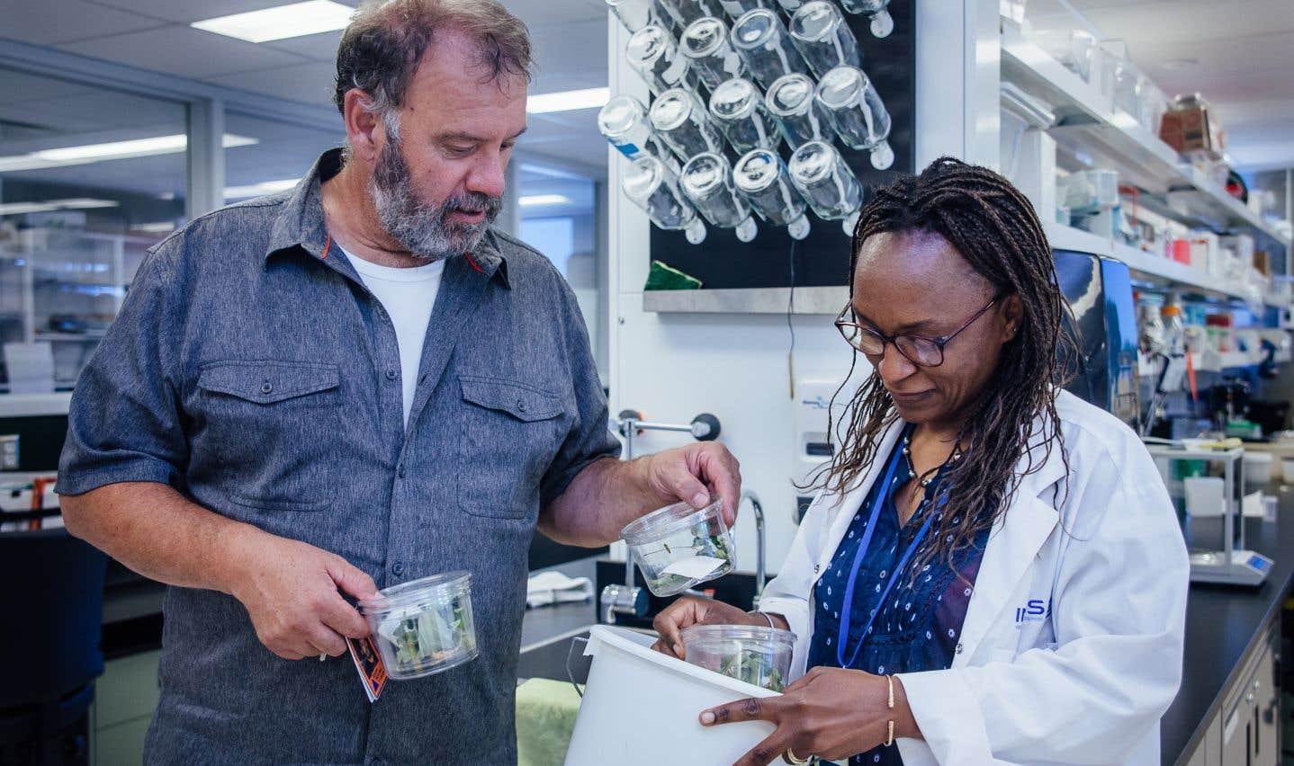 La doctorante et enseignante en biologie Judith Mogouong récupère les insectes capturés.