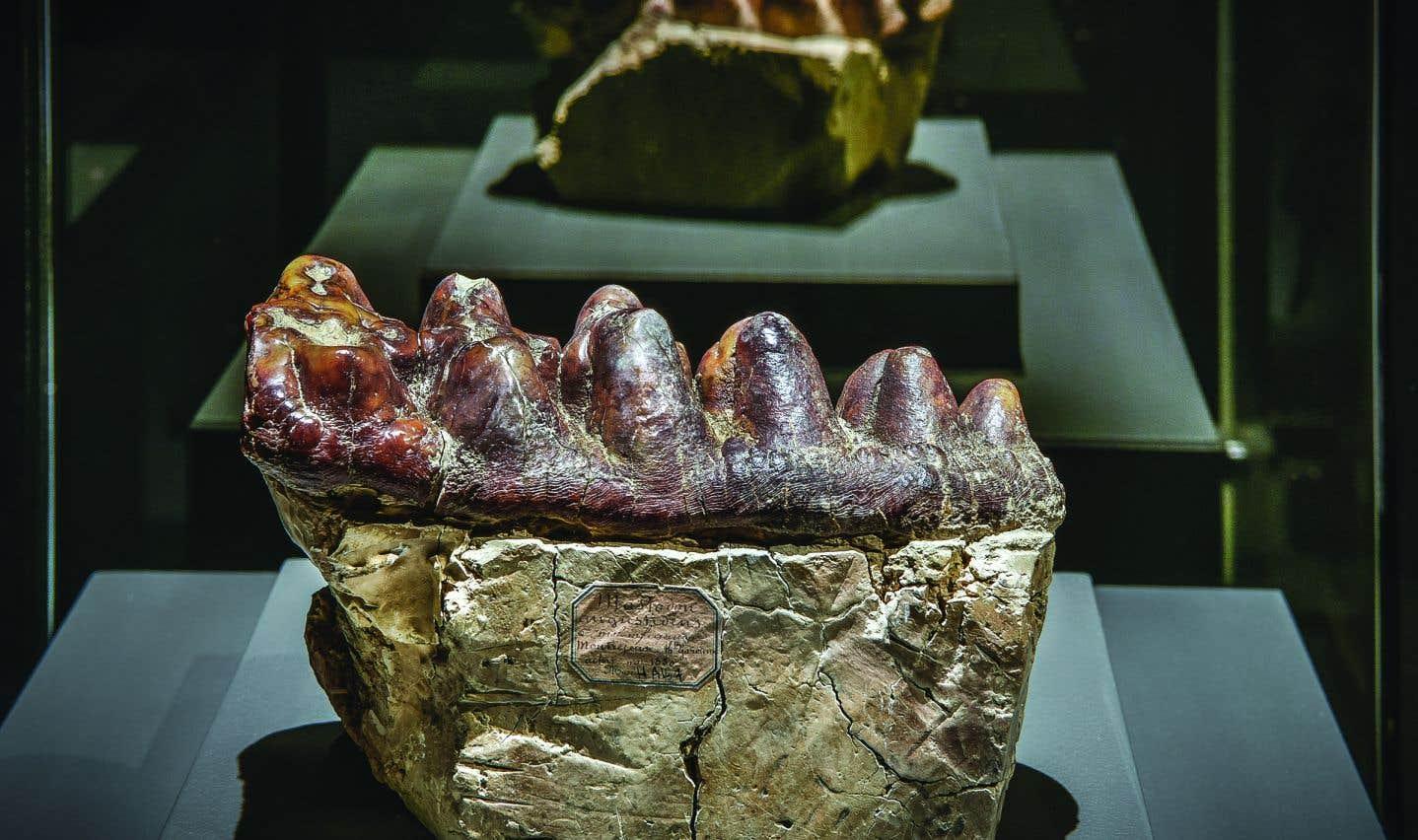 Molaire inférieure d'un «Tetralophodon longirostris» (Musée des Confluences, Lyon, France).