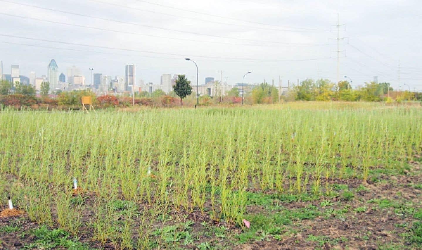 Au parc d'entreprises de la Pointe–Saint-Charles, l'équipe de l'Institut de recherche en biologie végétale pratique la phytostabilisation sur ce site d'enfouissement de déchets industriels et domestiques.