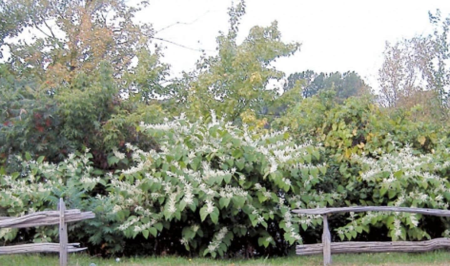 La renouée japonaise est l'une des plantes invasives les plus préoccupantes et il est pratiquement impossible de l'éliminer.