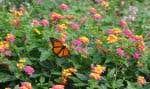 Le lantana Luscious Berry Blend a de jolies fleurs tricolores qui attirent les papillons.