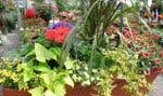 Graminée, ipomée, pétunia, Solanum panaché, le jardinier a l'embarras du choix pour exprimer sa créativité!