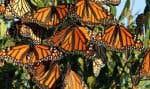 Si rien n'est fait pour favoriser le retour des asclépiades dans les aires de reproduction du monarque, l'espèce risque de voir sa population dans l'est de l'Amérique du Nord décliner de 14%.