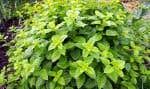 La mélisse est une plante vivace au goût citronné, excellente en tisane.