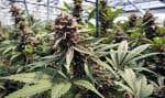 La production personnelle de marijuana thérapeutique a été protégée par les tribunaux.