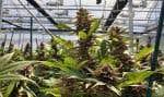 Le gouvernement fédéral doit déposer ce jeudi son projet de loi sur la légalisation de la marijuana, qui doit entrer en vigueur en juillet2018.