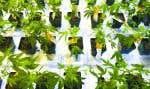 Aurora Cannabis a annoncé lundi matin l'acquisition de MedReleaf pour 3,2 milliards en actions, l'objectif étant de renforcer leur développement sur le marché international.