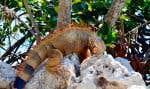 Un colossal iguane en liberté rencontré sur le terrain du Florida Keys Aquarium Encounters, à Marathon
