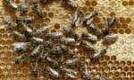 La journée mondiale des abeilles est célébrée le 20 mai.