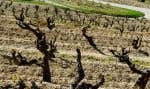 Des grenaches photographiés au printemps avant la sécheresse estivale qui s'abat actuellement sur l'Hexagone
