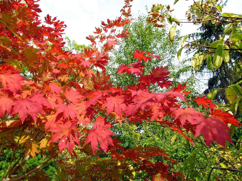 Erable Du Japon Petit une nouvelle collection d'arbres pour illuminer l'automne