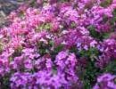 Le Daphne cneorum «Ruby Glow» est un fort joli petit arbuste qui se couvre au printemps de fleurs d'un parfum intense.
